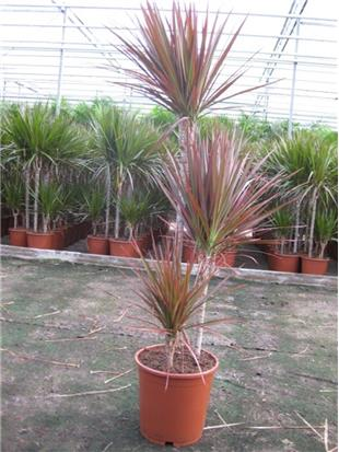 DRACAENA RED PRINCESS