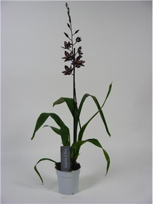 ORCHIDEE STIRBIC RED