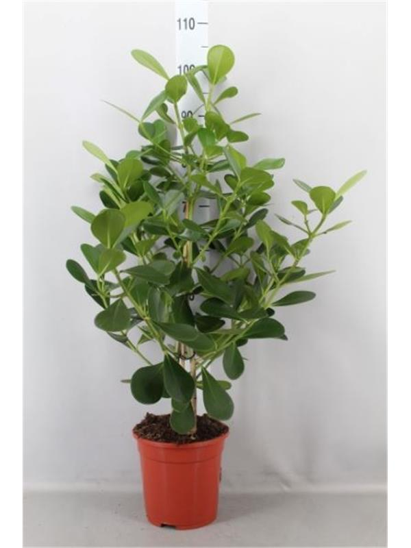 Clusia rosea 'Green Magic'