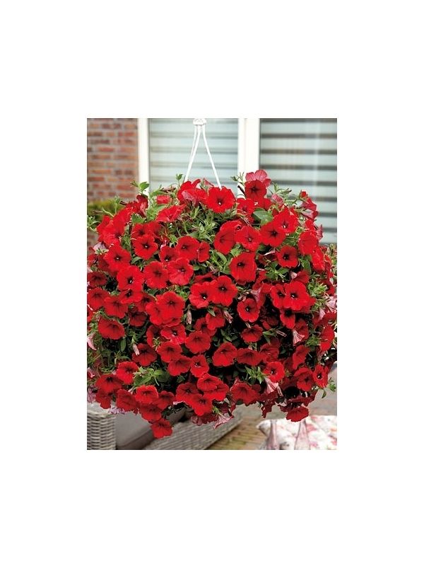 Petunia Surfinia Deep red