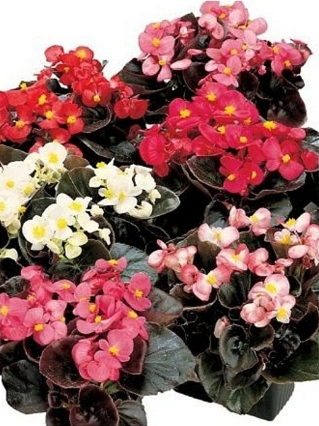 Begonija Semperflorens Sally Mix