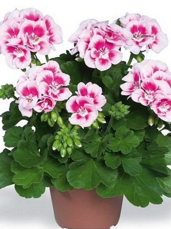 Pelargonija Zonale white splash